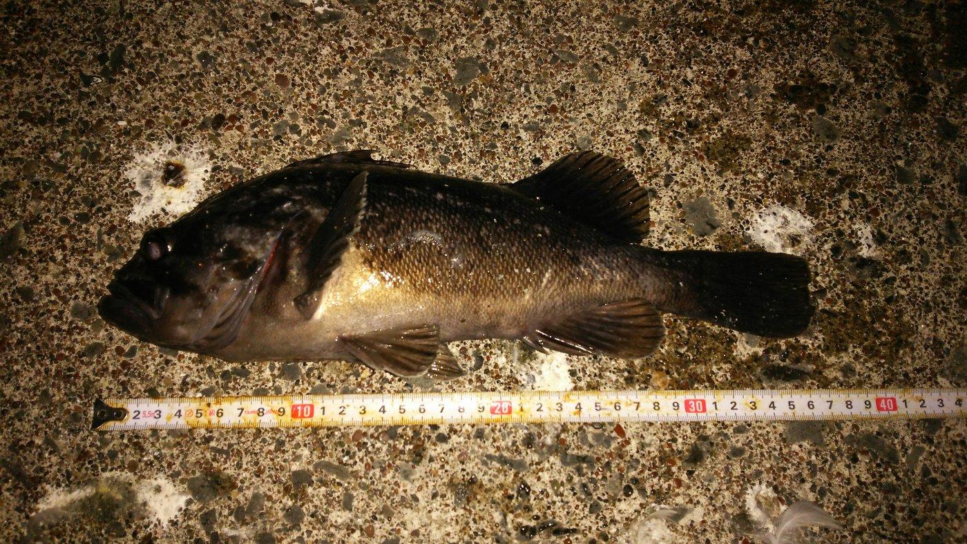 shiningさんの投稿画像,写っている魚はクロソイ