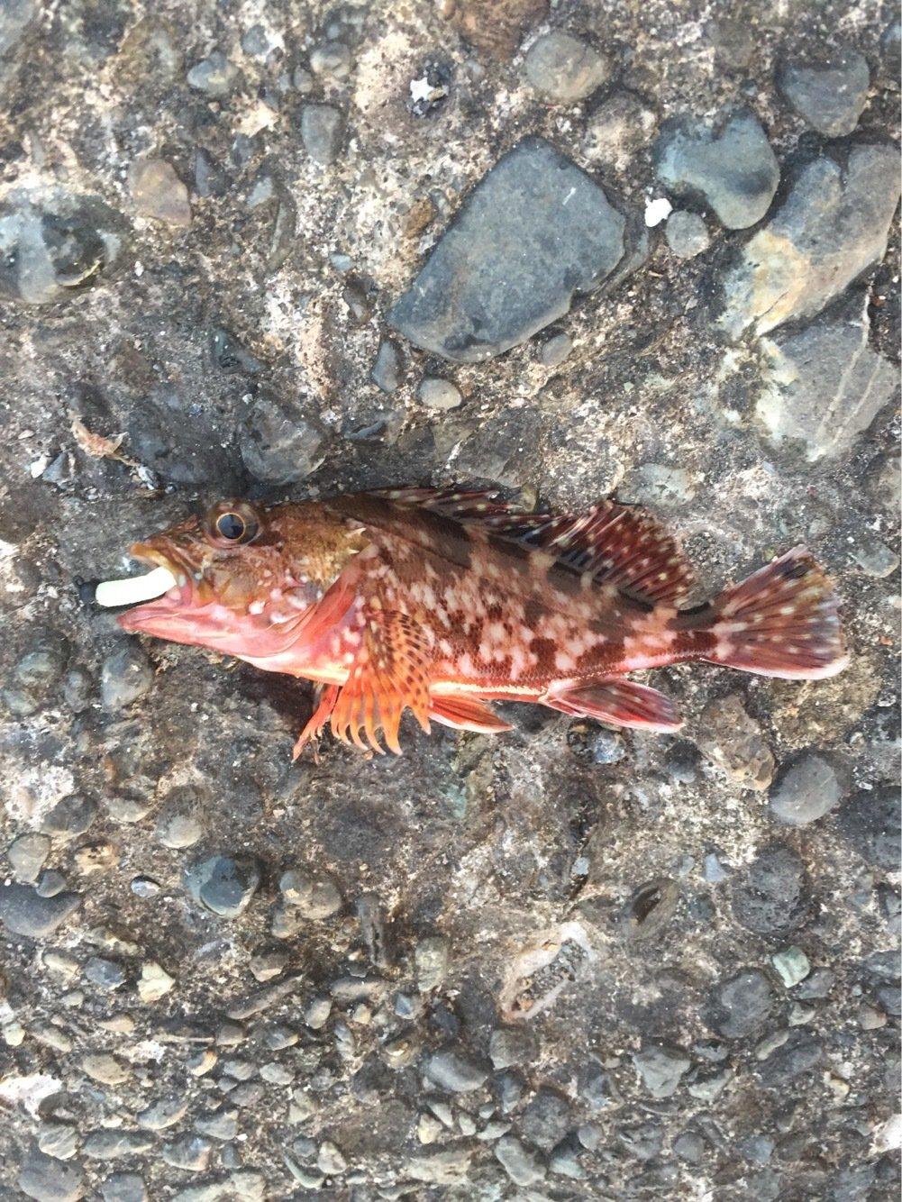 メバルさんの投稿画像,写っている魚はカサゴ
