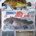 かなぼうさんのキツネメバルの釣果写真