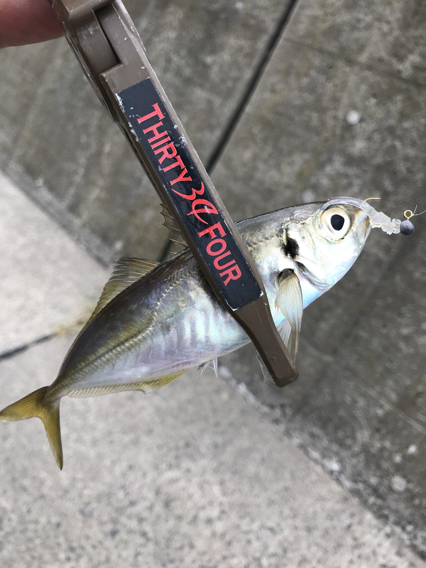 とんびさんの投稿画像,写っている魚はアジ