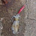 ぼりさんの新潟県糸魚川市でのアオリイカの釣果写真