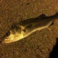 でかちょうさんの愛知県弥富市での釣果写真