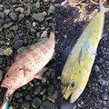 ちゃちゃさんの静岡県でのシイラの釣果写真