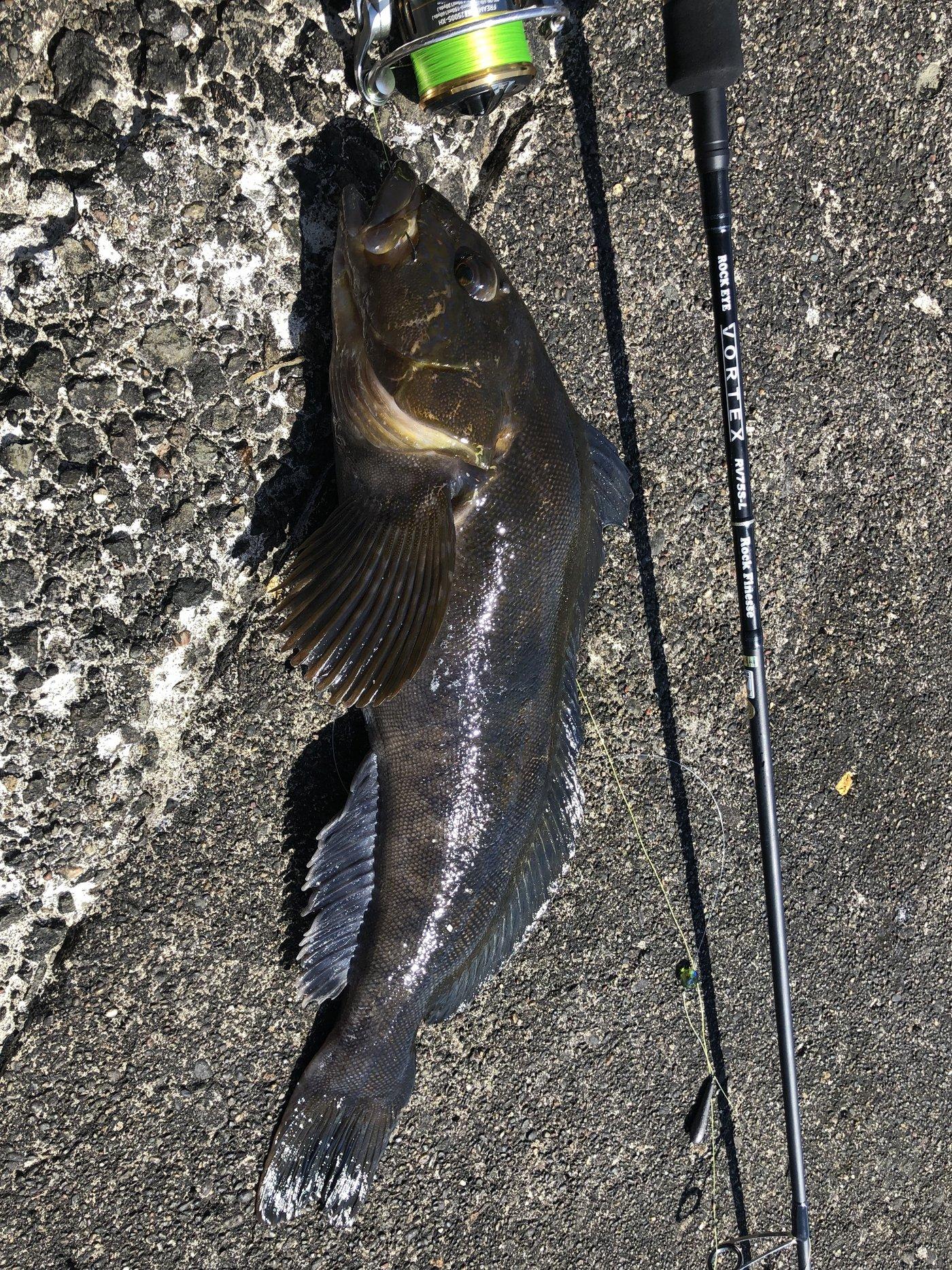 松井 祐樹さんの投稿画像,写っている魚はアイナメ