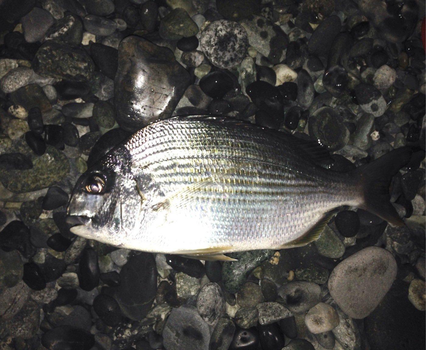 モロさんの投稿画像,写っている魚はヘダイ