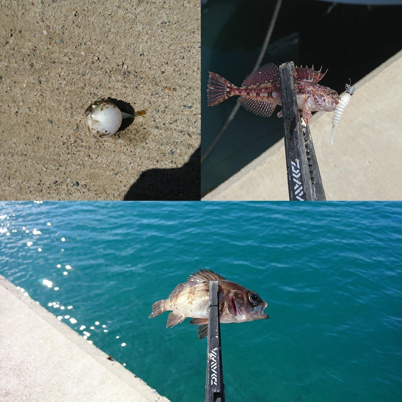 9 Odatefさんの投稿画像,写っている魚はフグ,メバル,カジカ