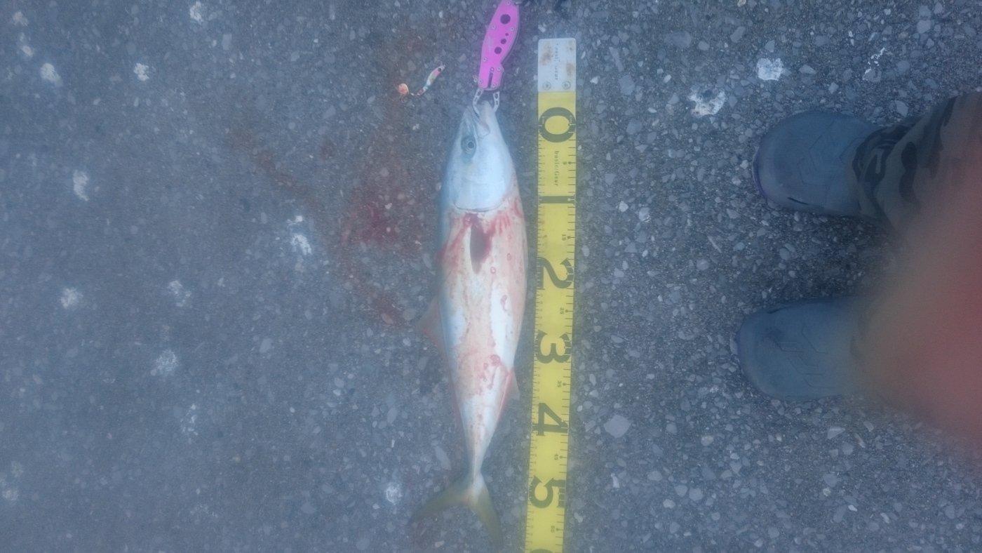 フルタカさんの投稿画像,写っている魚はブリ