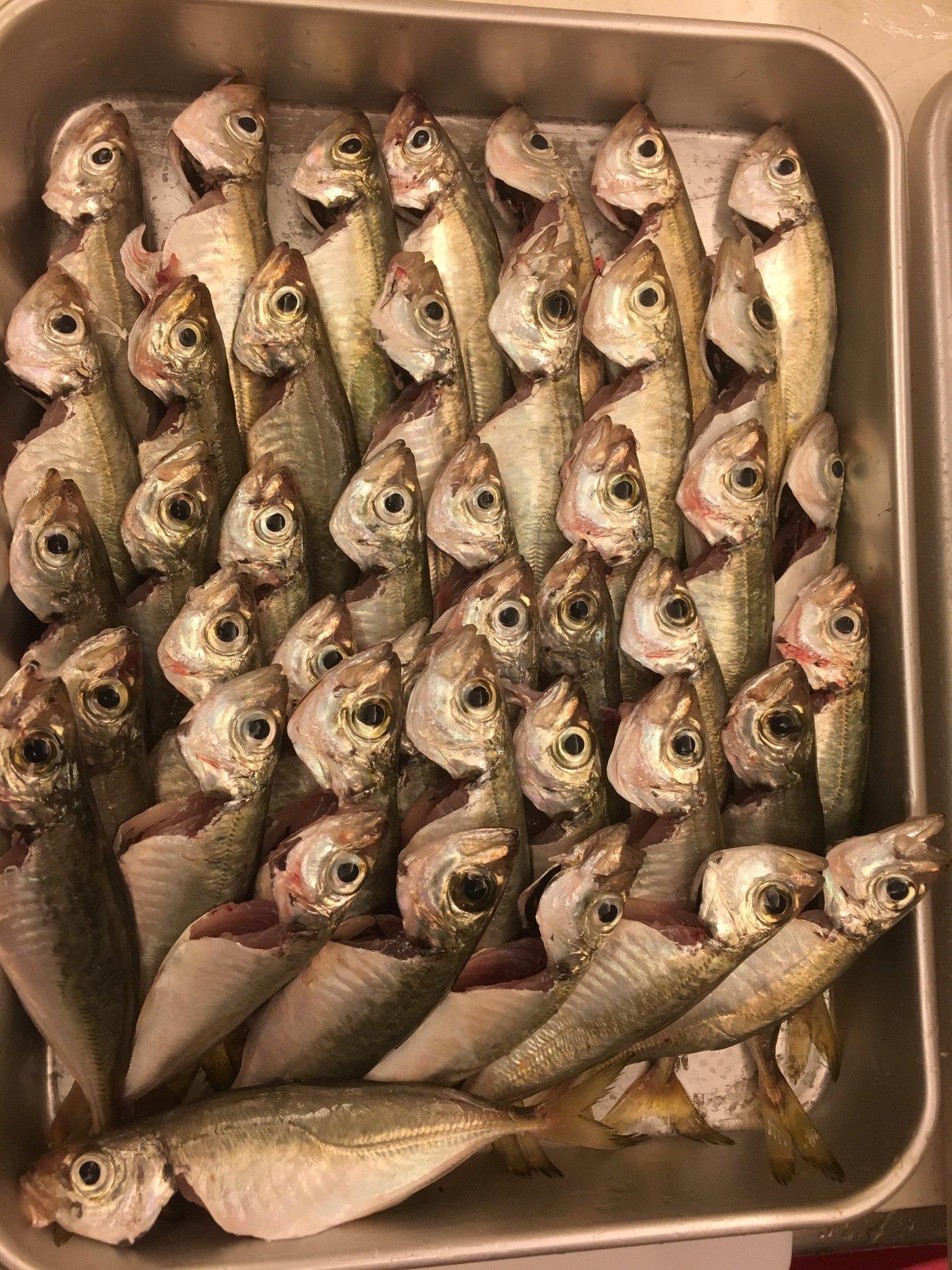 さまやんさんの投稿画像,写っている魚はアジ