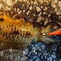 いわさんの鹿児島県鹿児島市での釣果写真