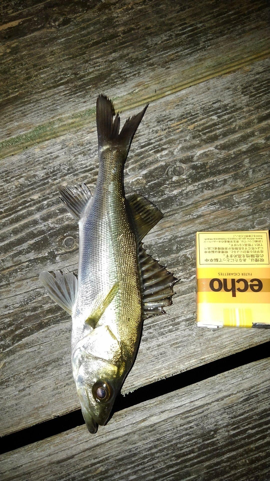 有頂天一号さんの投稿画像,写っている魚はスズキ