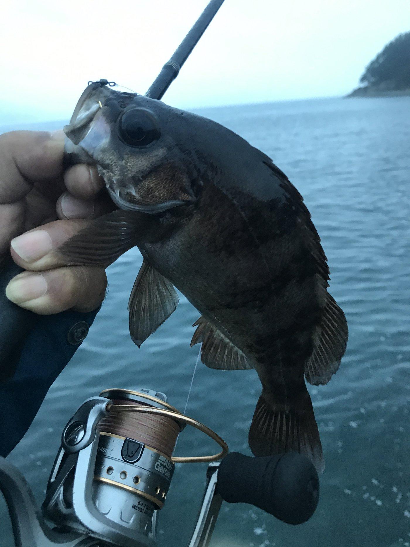 まーさんの投稿画像,写っている魚はメバル