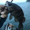 まーさんのメバルの釣果写真