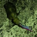 よしくんさんの山口県長門市でのアオリイカの釣果写真