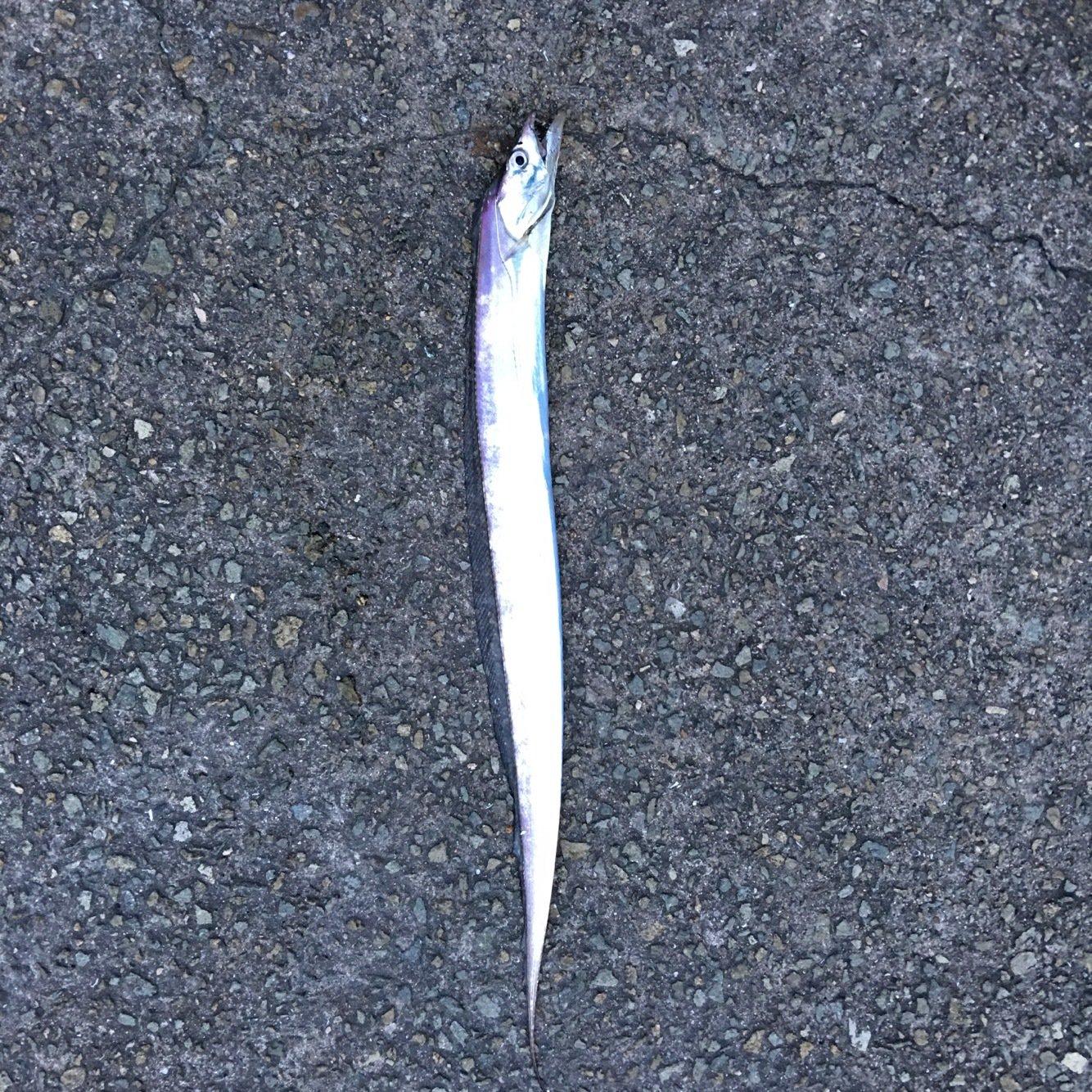 まあさんの投稿画像,写っている魚はタチウオ