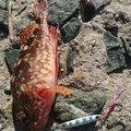 釣狂乱さんの山口県下関市での釣果写真