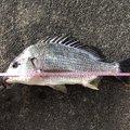 かまちゃんさんの高知県高知市でのキチヌの釣果写真