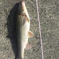 atoさんの青森県での釣果写真