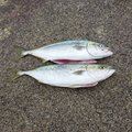 はぢさんの青森県での釣果写真