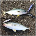 ミッツさんの新潟県長岡市での釣果写真