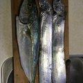 ミカン星人さんの静岡県でのタチウオの釣果写真