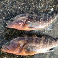 simomuさんの石川県での釣果写真
