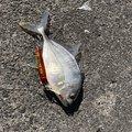 ゆうごさんの大分県での釣果写真
