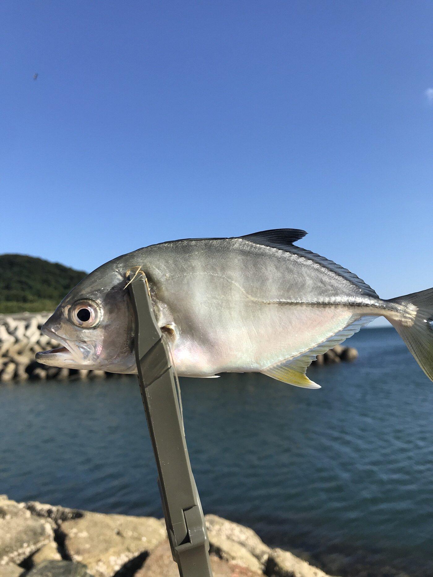 巨人さんの投稿画像,写っている魚はギンガメアジ