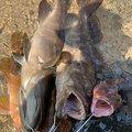 かねちゃんさんの山口県での釣果写真