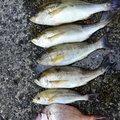 セイさんさんの和歌山県有田市での釣果写真