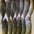 Gグレさんの茨城県での釣果写真