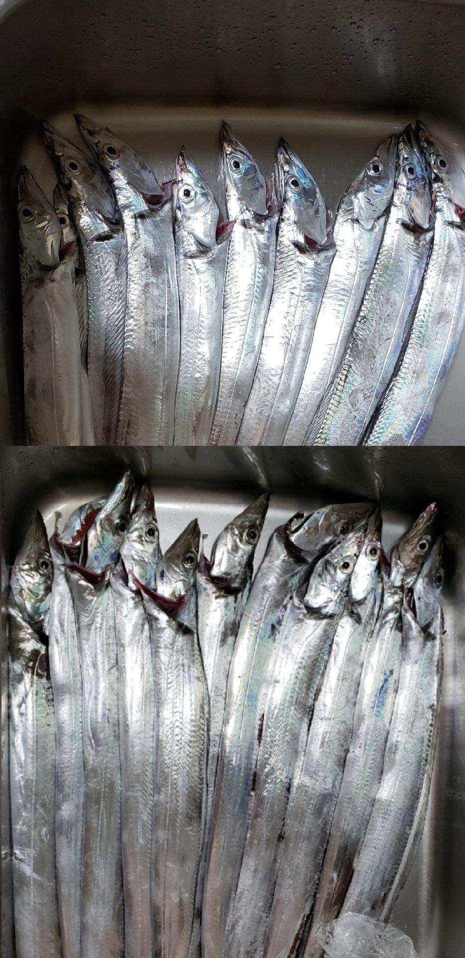 hirop-onさんの投稿画像,写っている魚はタチウオ