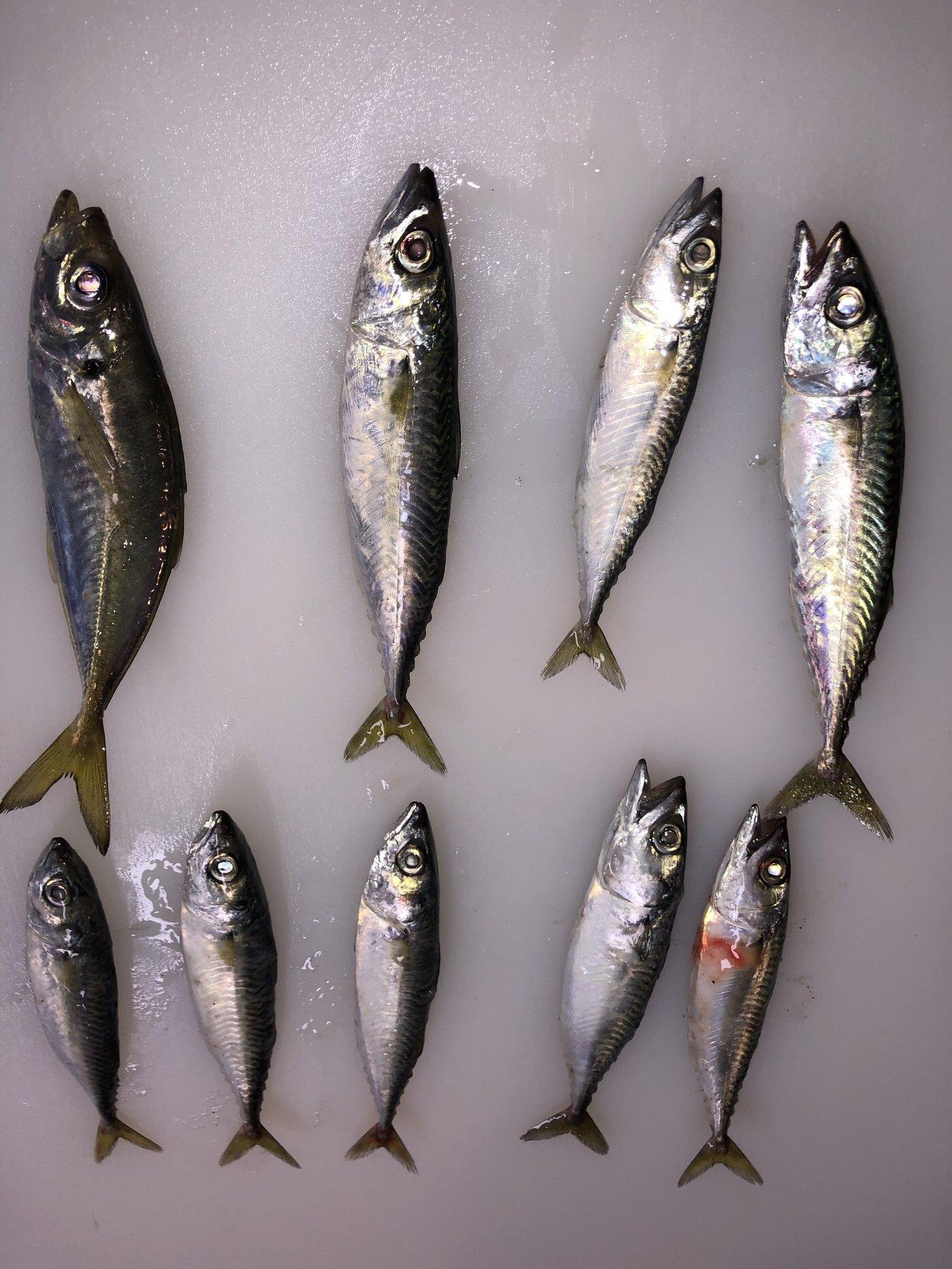センチョーさんの投稿画像,写っている魚はマサバ,アジ