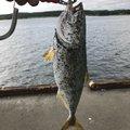 あばれてる君さんの青森県での釣果写真