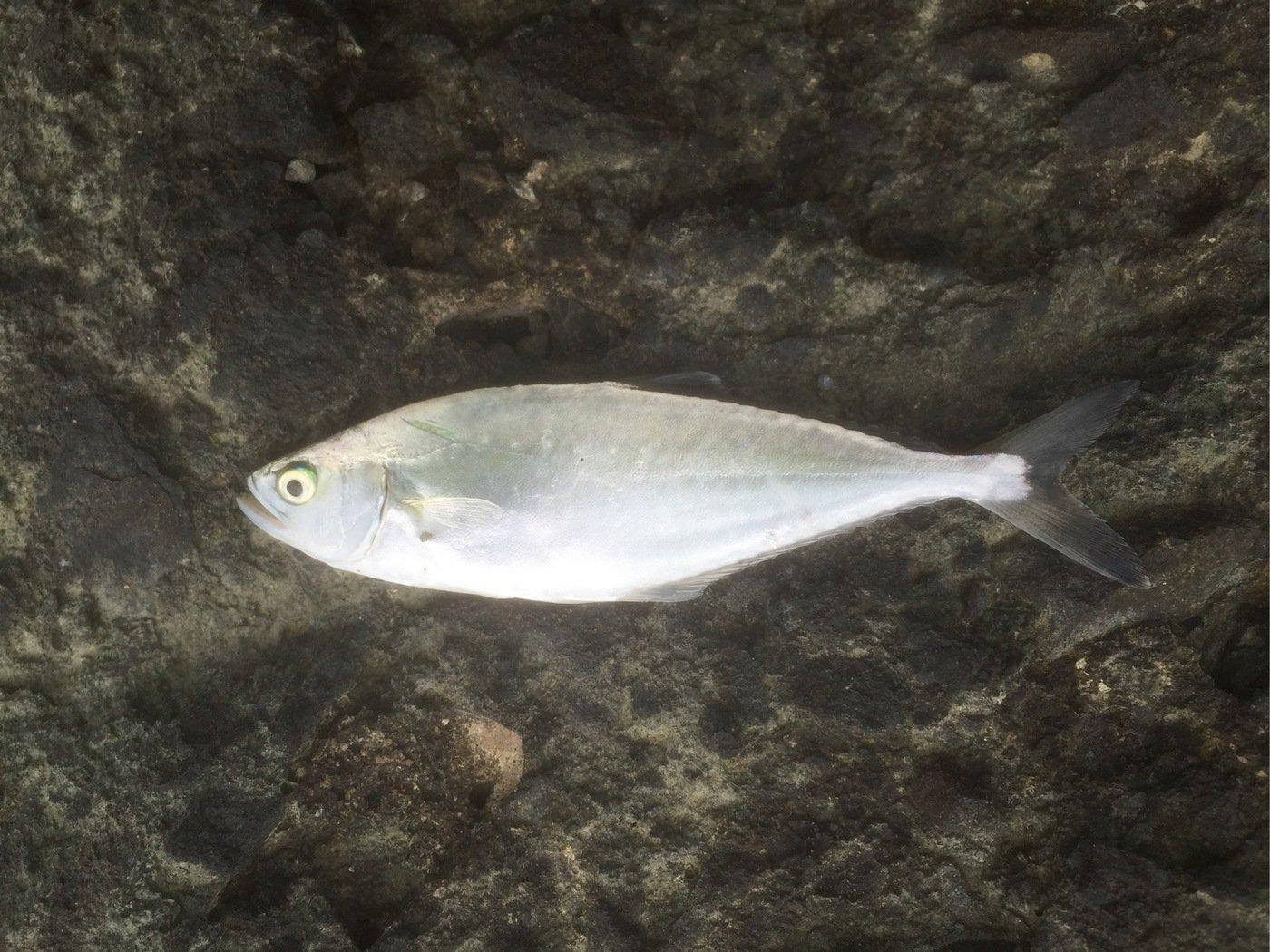 なにいろさんの投稿画像,写っている魚は