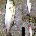 テラざわすさんの徳島県徳島市でのカマスの釣果写真