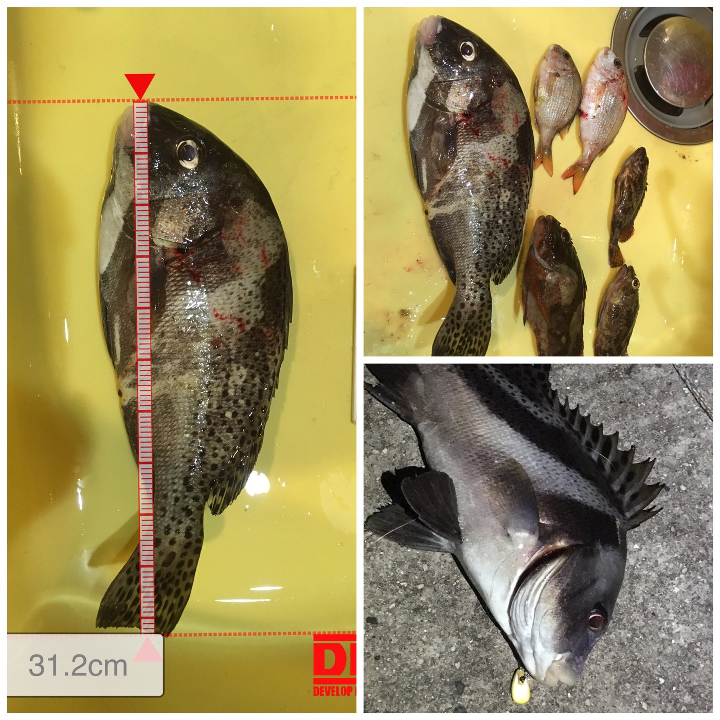 モンスター飲み放題さんの投稿画像,写っている魚はコショウダイ,カサゴ,マダイ,