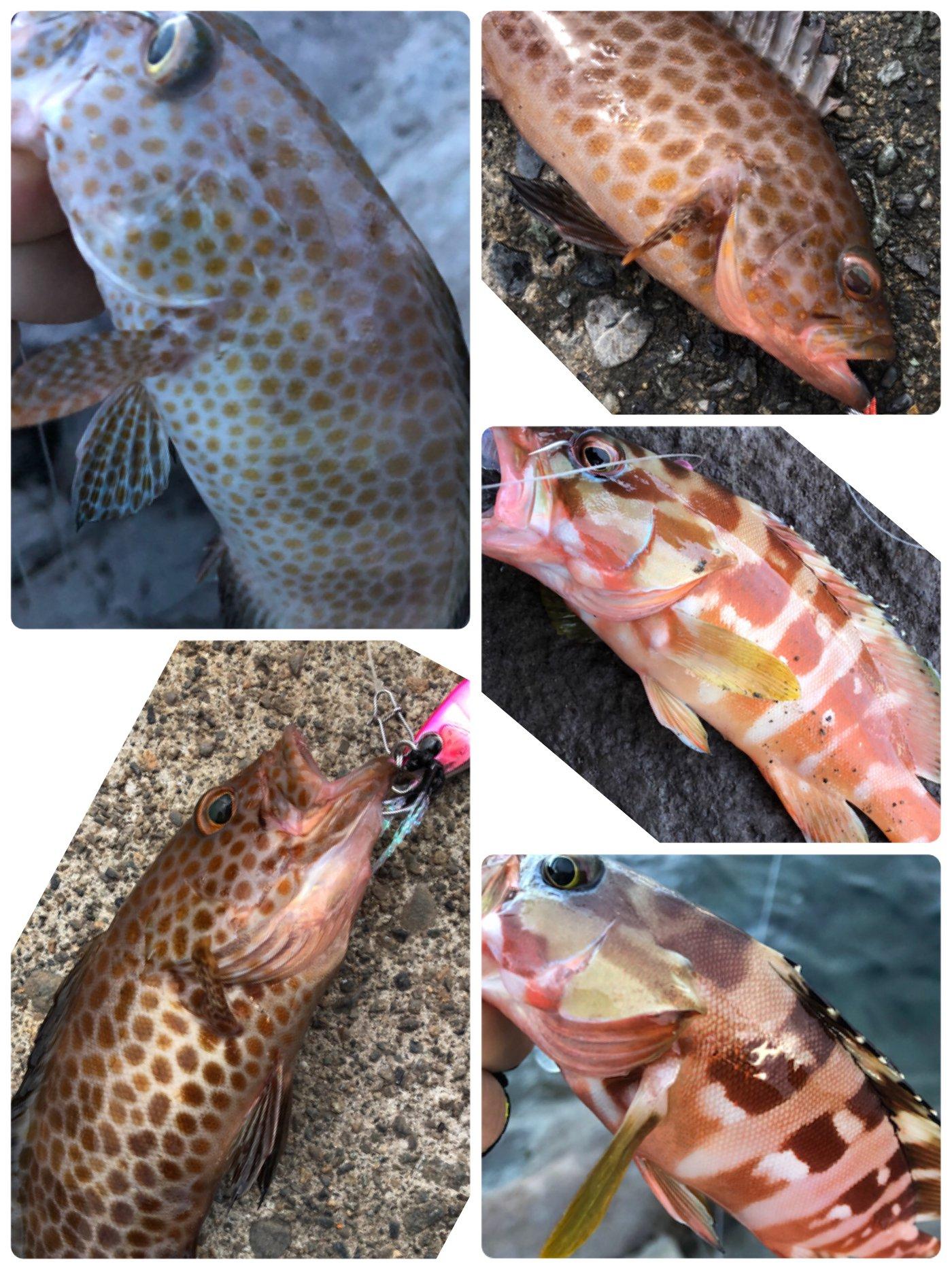 たこたかさんの投稿画像,写っている魚はオオモンハタ,アカハタ