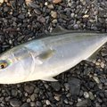 TETSUさんの静岡県での釣果写真