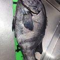 釣りきちさんの石川県での釣果写真