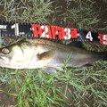 ポニーさんの千葉県流山市でのスズキの釣果写真