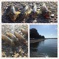 さよ*ˊᵕˋ)੭さんの茨城県での釣果写真