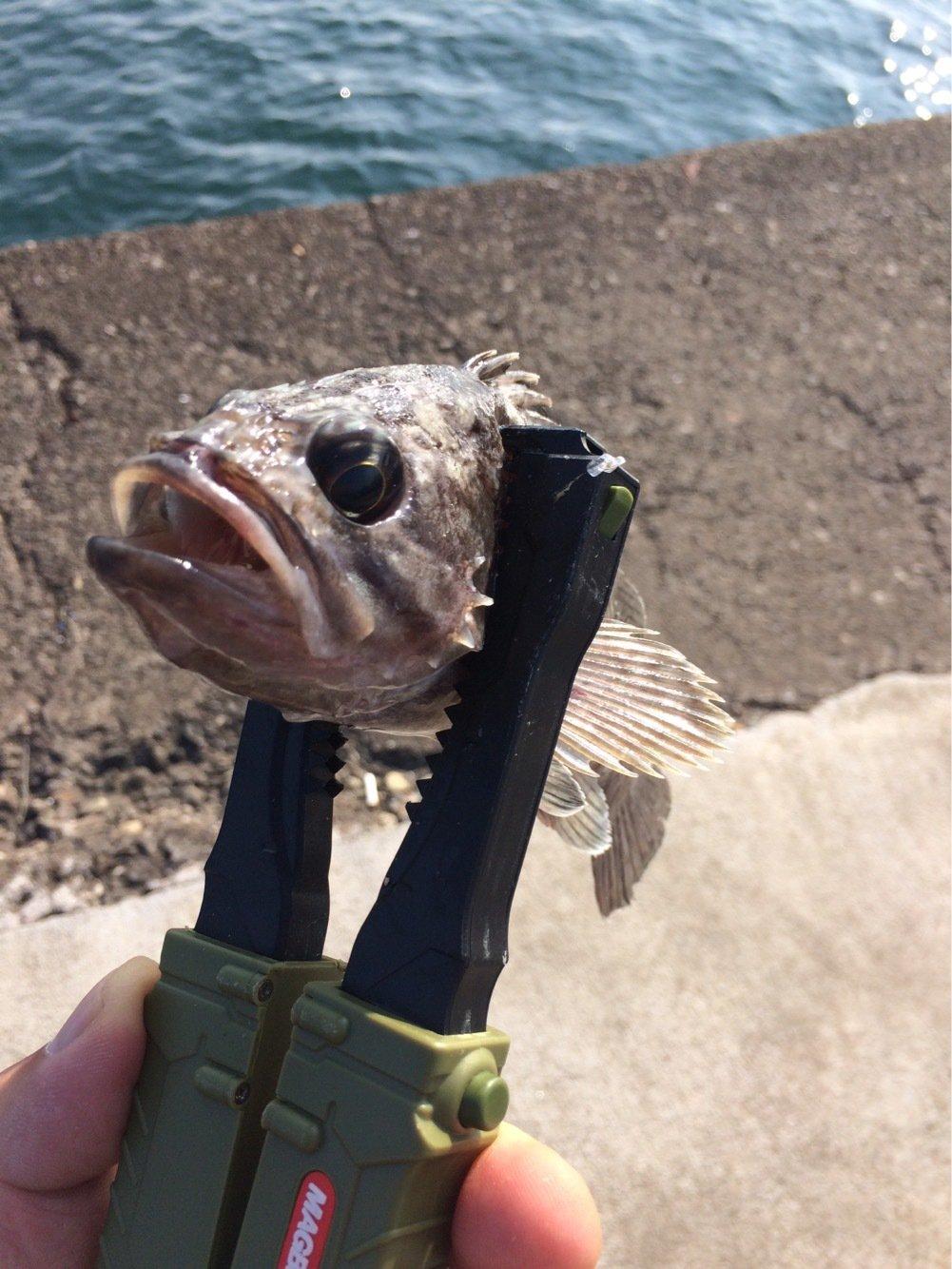 とんびさんの投稿画像,写っている魚はソイ
