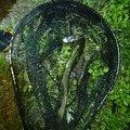 しんパパさんの青森県での釣果写真