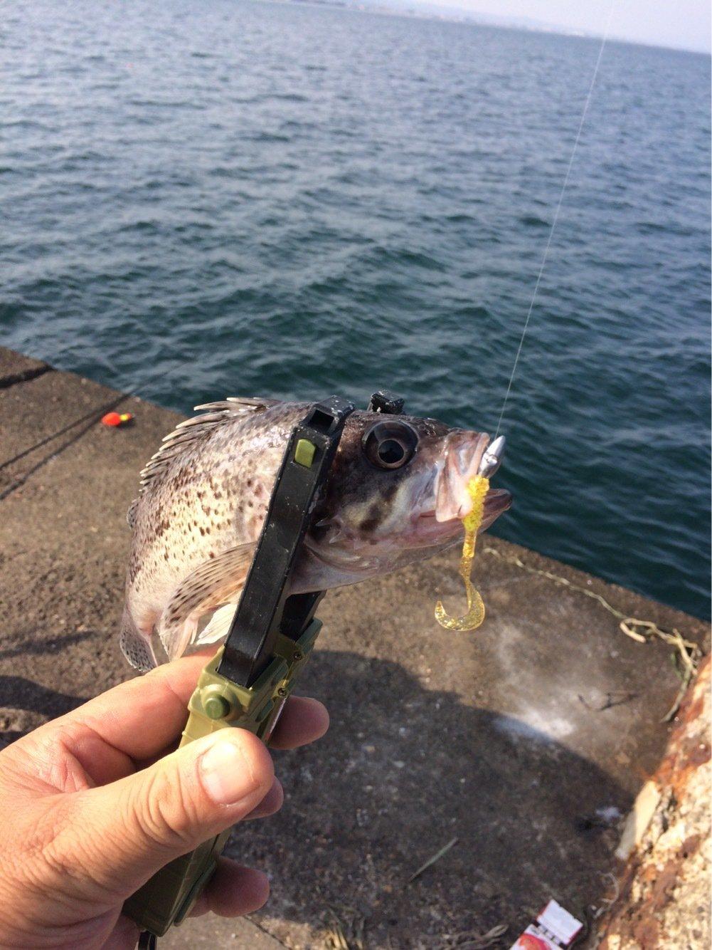 トンビさんの投稿画像,写っている魚はソイ