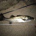 小鉄のパパさんの福岡県北九州市でのスズキの釣果写真
