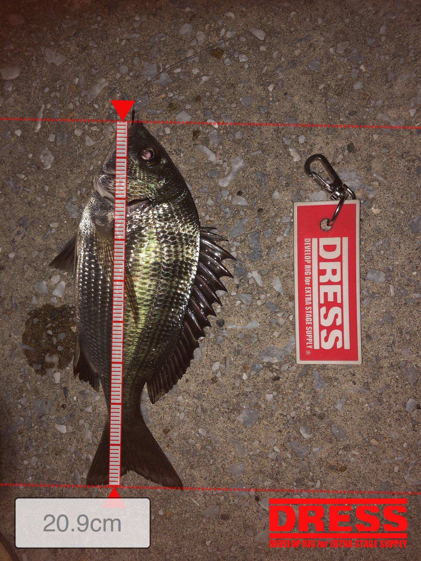 かっきーさんの投稿画像,写っている魚はクロダイ