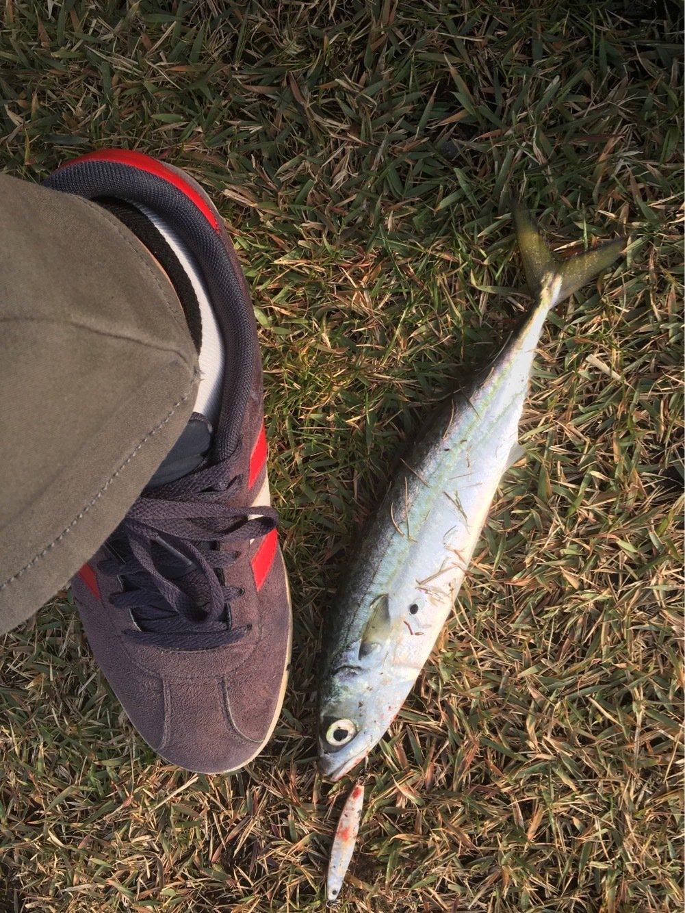 りゅうさんの投稿画像,写っている魚はゴマサバ