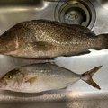 SOGYANTAIさんの鹿児島県薩摩川内市でのカンパチの釣果写真