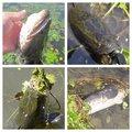Suzyさんのライギョの釣果写真
