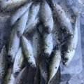 ヨシキさんの福井県敦賀市での釣果写真
